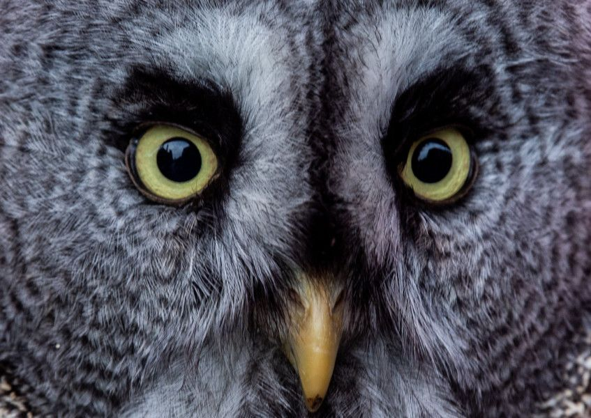 Why Great Grey Owl has '˜satellite dish of feathers ...
