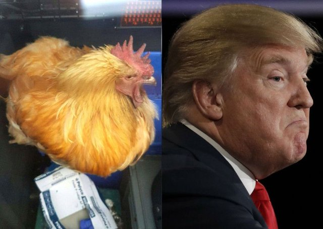 People think this chicken looks like Donald Trump (maybe that's ...