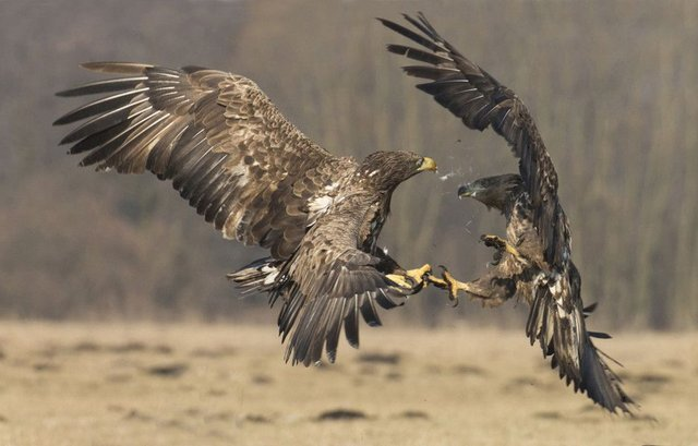 John Hunt flew away with the top prize after capturing two white-tailed eagles fighting over a kill on the Danube delta in Romania. Picture: SWNS