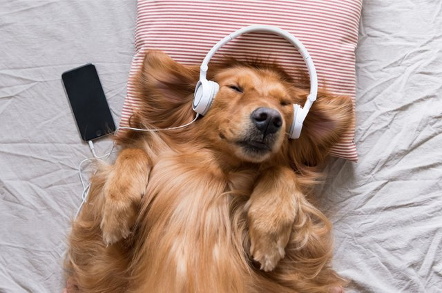 If your pet enjoys a good tune or gets lonely when you leave the house, then Spotify might have the perfect solution (Photo: Shutterstock)