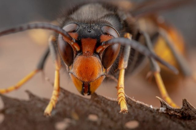 Reports of Asian hornets invading the UK during the summer have been common over the past few years, with media reports in recent weeks warning of 'murder hornets' potentially invading the UK (Photo: Shutterstock)