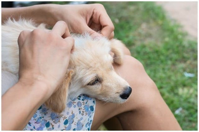 The month of May is Lyme Disease Awareness Month, but do you know how to check if your pet has ticks and the signs and symptoms of Lyme disease? (Photo: Shutterstock)