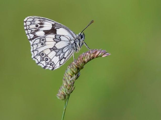 Marbled White butterfly Picture: Bob Eade, Butterfly Conservation