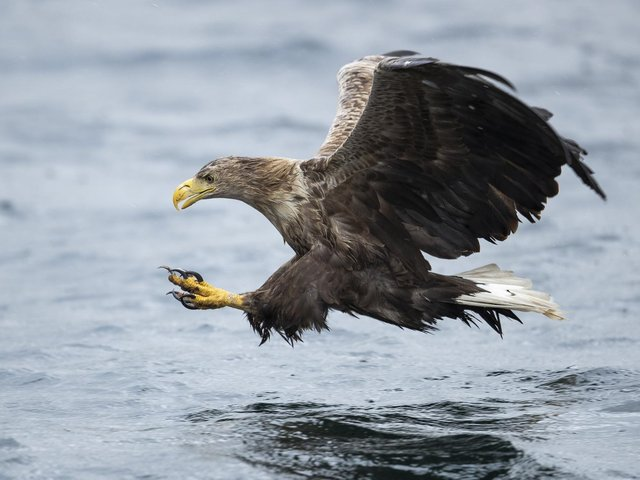 The White-tail Eagle also known as a Sea Eagle