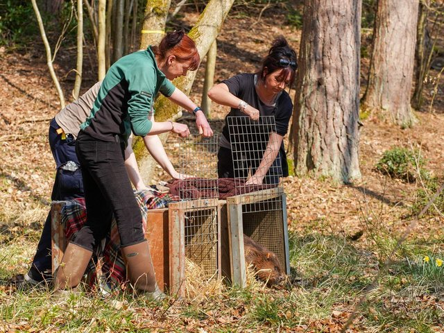 The beaver release at Cropton Forest, near Pickering, in April 2019
