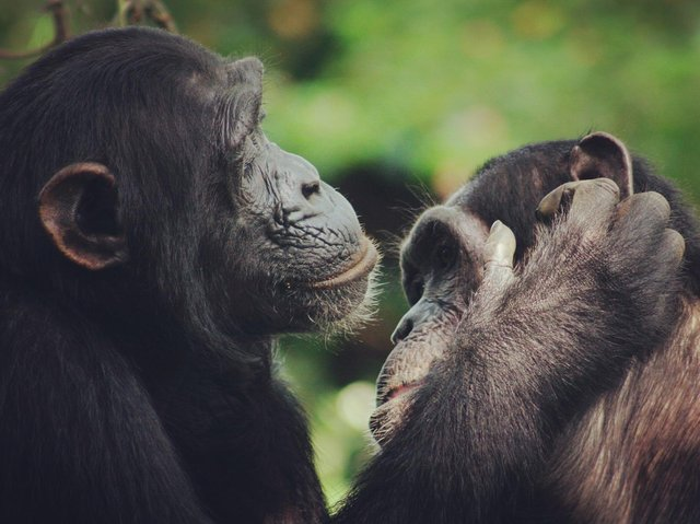 Chimpanzee lip-smacks exhibit a speech-like rhythm, confirming that human speech has ancient roots within primate communication, according to a new study. Photo credit: Catherine Hobaiter