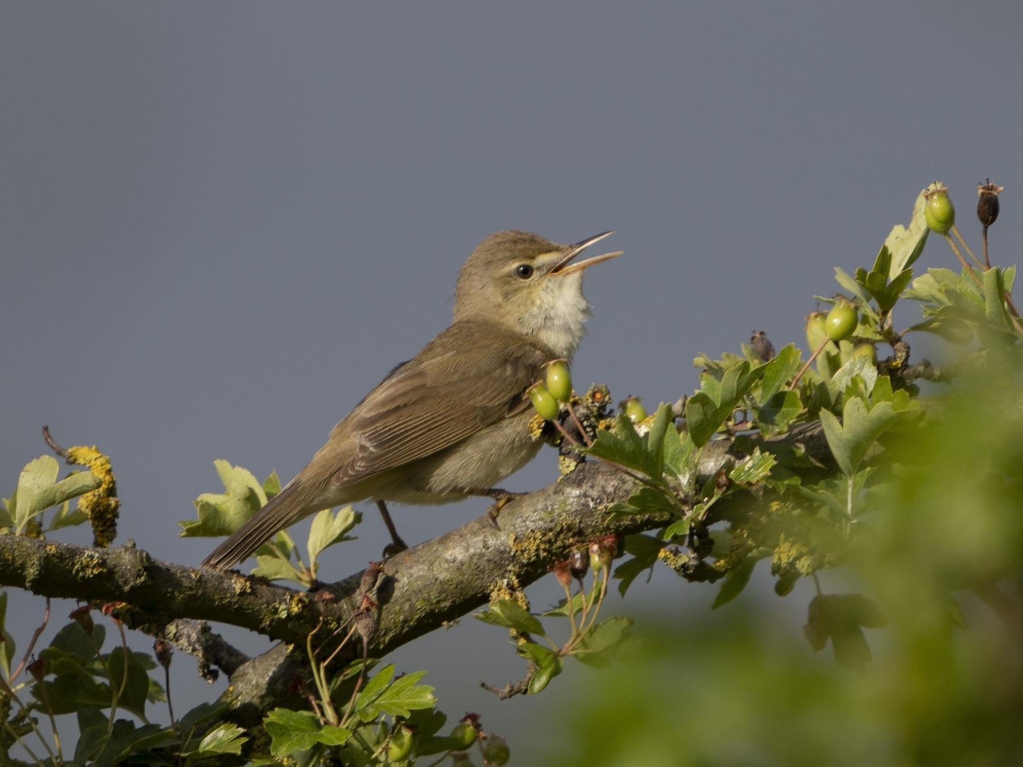 Rare Blyth S Reed Warbler Bird Spotted At Far Ings Nature Reserve In The Humber Estuary Yorkshire Post