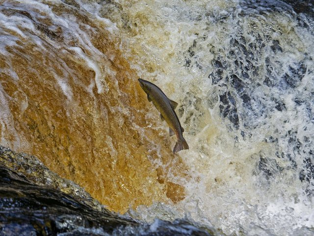 The alliance between Game and Wildlife Conservation Trust, the Angling Trust and the Atlantic Salmon Trust.