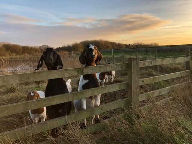 The herd of seven Boer goats are helping conservation grazing at the Reserve