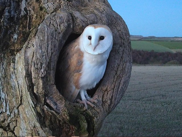 Howard the owl named for the place he was found, Castle Howard