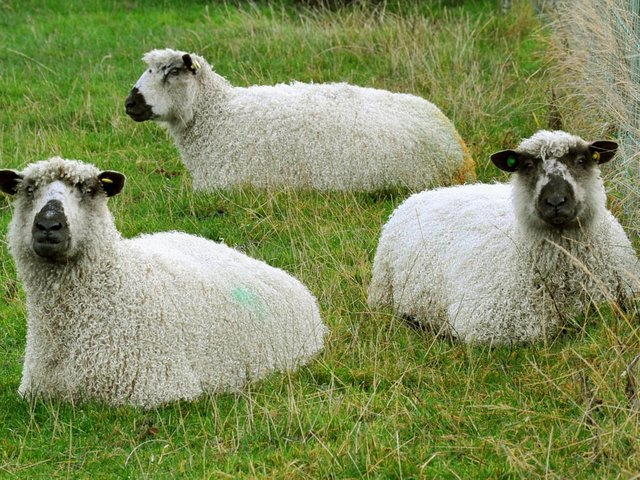 Teeswater sheep have been added to the Rare Breed Survival Trust Watchlist this year