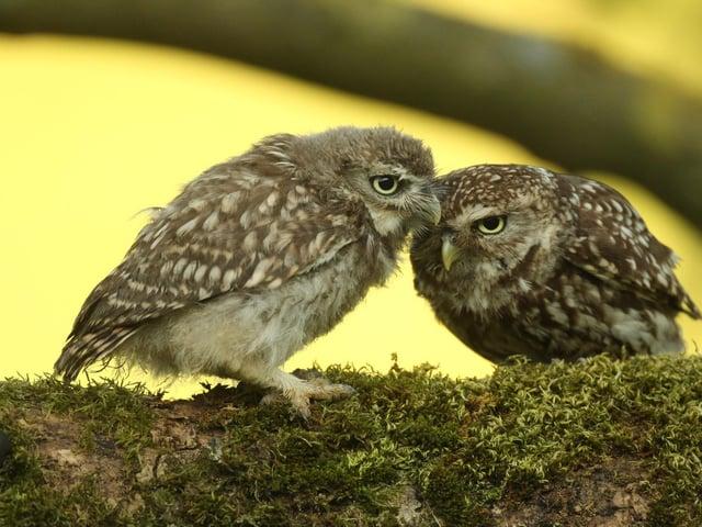 Wildlife artist Robert Fuller has a new project filming little owls