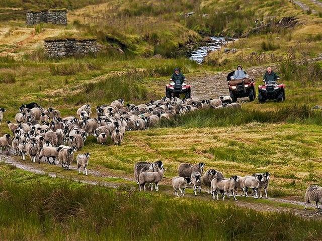 The Calvert men gather the sheep