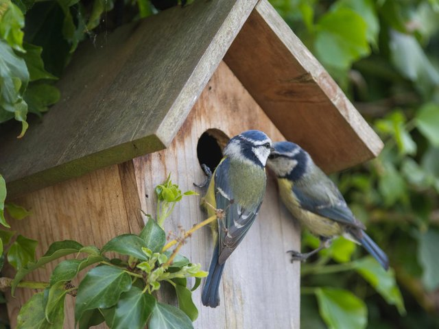 A pair of blue tits on a nest box. Picture: iStock/PA