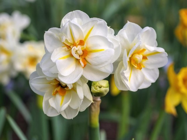 The Narcissus 'Sir Winston Churchill'. daffodil. Picture: PA/iStock