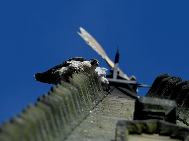 Peregrine Falcons on the spire at Wakefield Cathedral. Picture by Simon Hulme