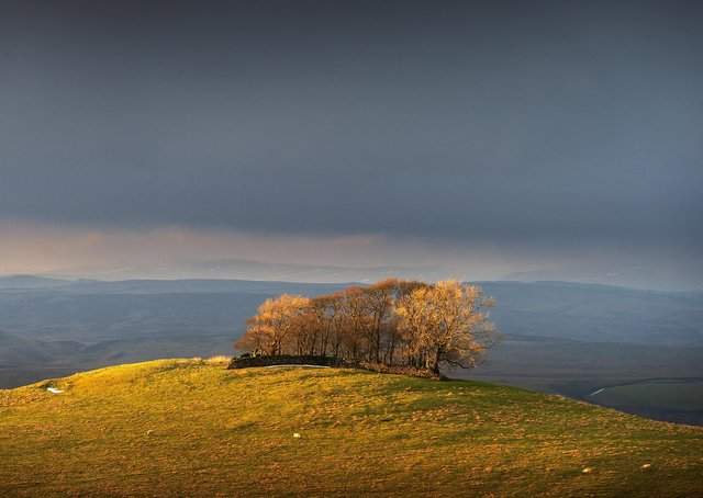 Coppice of trees lit by the late aftrnoon winter sun on Reef Knoll above Cracoe, near Skipton.  Picture Bruce Rollinson