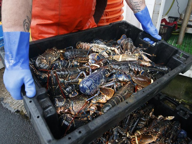 Lobsters are processed at the fishing port at Bridlington Harbour in Yorkshire. Photo: PA