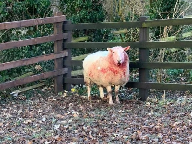 One of the sheep injured in the dog attack on livestock near Rotherham.