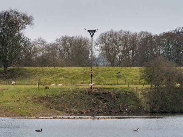 The platform is the height of a telegraph pole as ospreys love elevated nesting spots