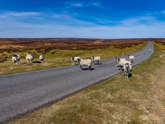 Sheep in the North York Moors