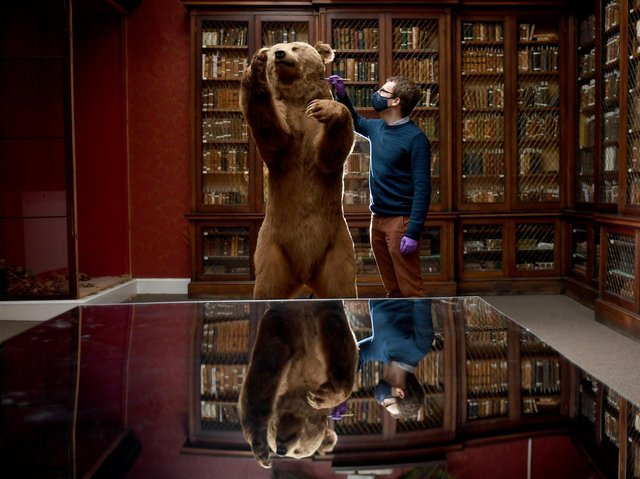 Curators check the conditions of the taxidermy artifacts at the Yorkshire Museum in York. Senior Curator Andrew Woods checks a brown bear on display at the museum.