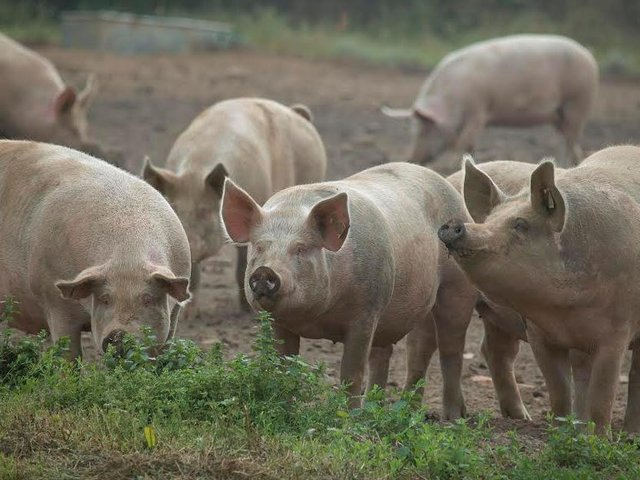 The Far East has been hit by the serious outbreak of African Swine Fever