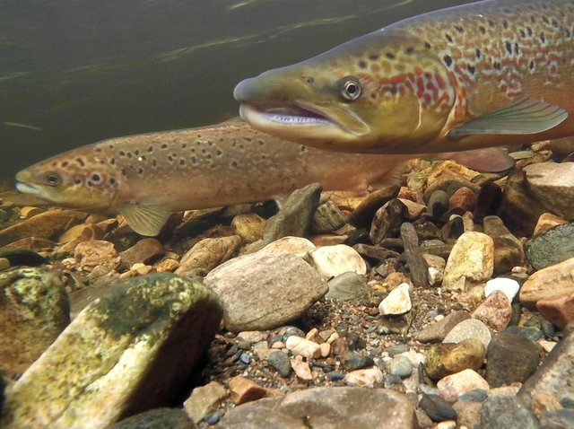 The fish has suffered a massive drop in numbers with between a 54-88 per cent decline.