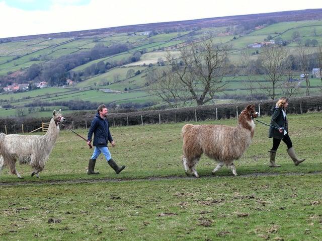 Aidan and Ella Foord with their llamas