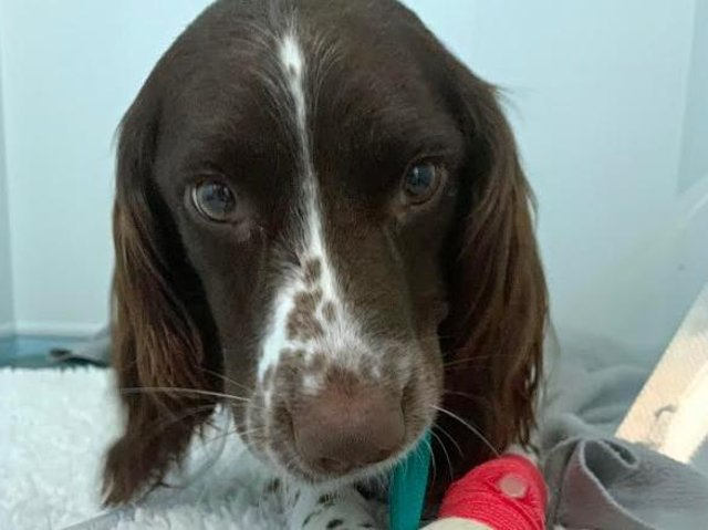 Willow after surgery at Paragon Veterinary Referrals