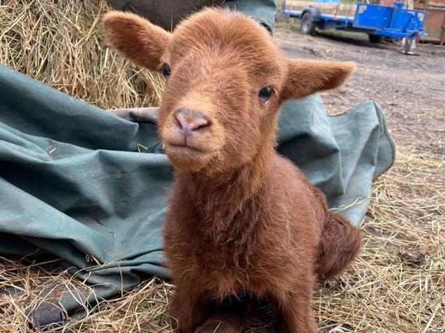 Steven the lamb