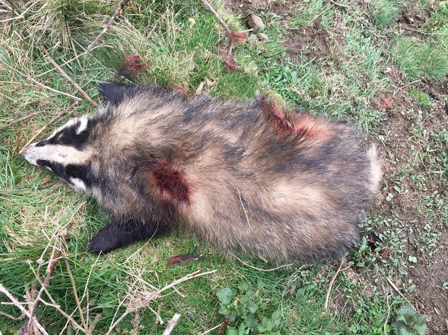 The badger was shot dead in Calderdale on Saturday.