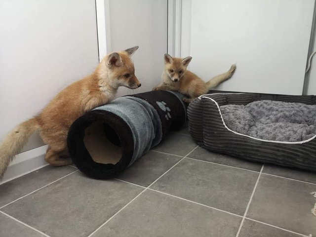 The fox cubs have been taken in by a sanctuary in Whitby. (Pic: SWNS)