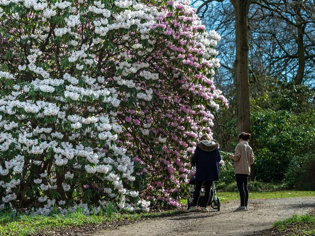 Pictured flowering rhododendrons at RHS Harlow Carr, in Harrogate. It has some dating back to more than 60 years ago including a fiery red rhododendron barberton species, with dozens scattered throughout the woodland. Bruce Rollinson/JPIMediaResell