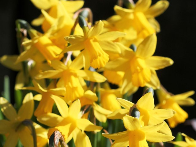 If the daffodils are looking past their best, dead-head them, but leave the foliage untouched.