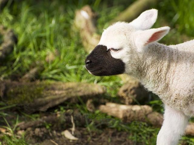 This time of year marks peak lambing season.