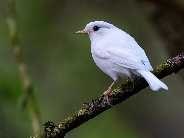 The robin has an incredibly rare form of albinism.
