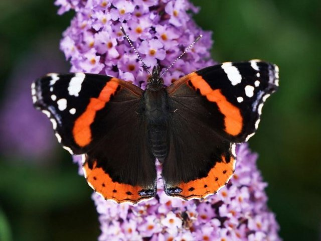 A red admiral butterfly sits on colourful flowers on a warm summer day in Whitley Bay. Picture: Owen Humpreys/PA.