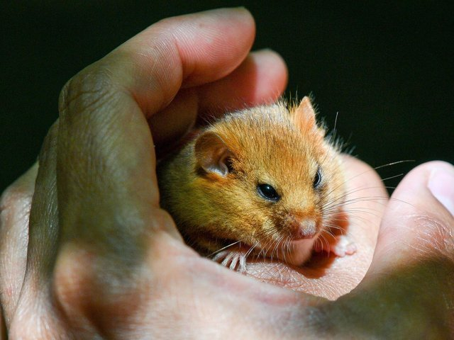 Records show that dormice were found in Wensleydale in 1885, but became locally extinct.