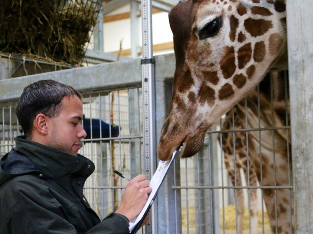 Behansin deciding to tuck in at the annual animal audit at Yorkshire Wildlife Park in 2015
