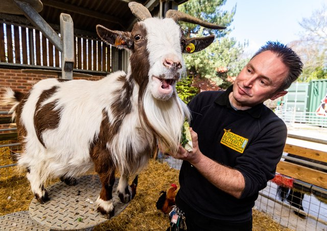 Head Keeper Steve Dickie, at Tropical Butterfly House Wildlife And Falconry Centre, at Woodsetts Road, North Anston, Sheffield, feeding Pepper an Afrian Pygmy Goat.