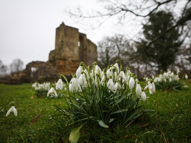 Snowdrops and the ruins of the first Mulgrave Castle in Mulgrave Woods