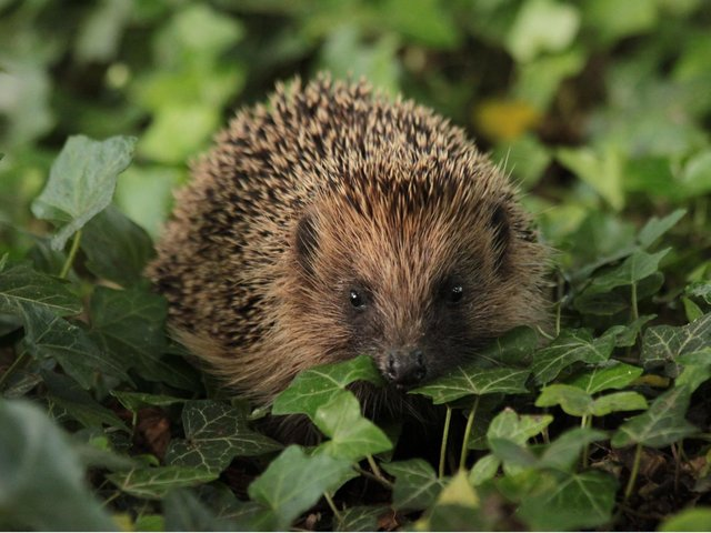 Hedgehogs need careful treatment if they visit your garden, experts say.