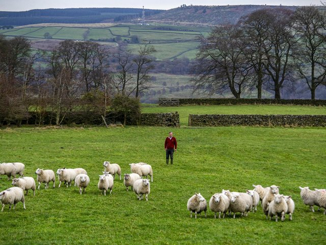Texel cross sheep on Andrew Hardy's land at Tarn View Farm on the hills above Keighley.