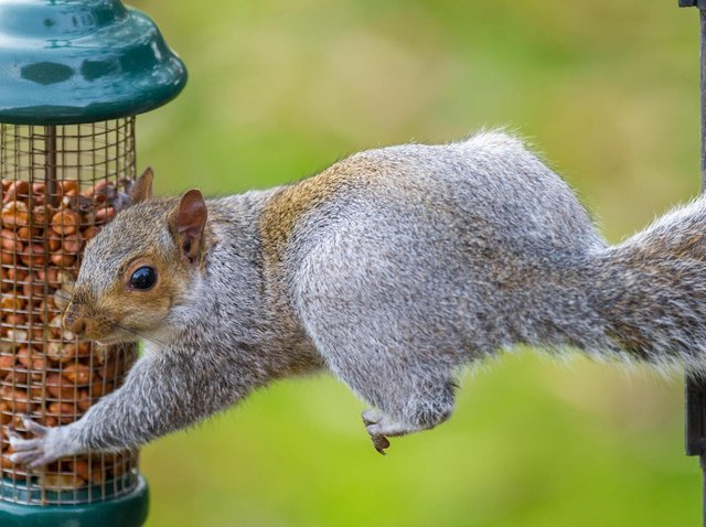 Squirrels are often attracted to bird feeders. Picture: PA