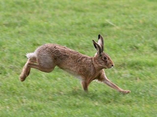 Stock photo of a hare. Photo: JPI Media