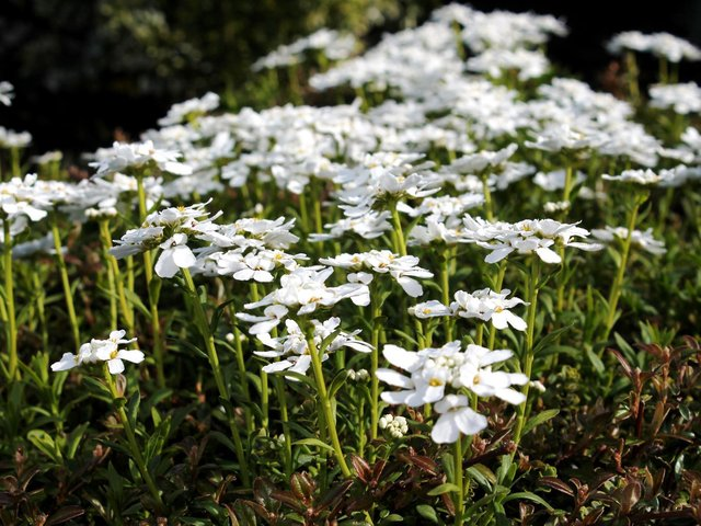 It's a good time to trim back spreading plants, such as candytuft.