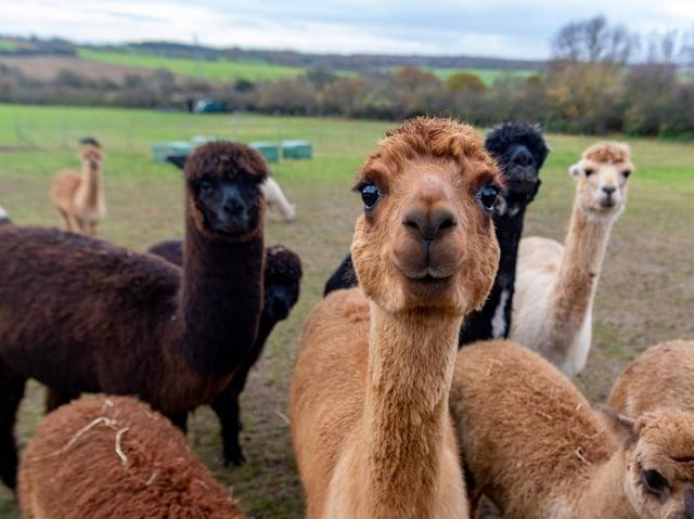 The alpacas would have been walked around Baildon Moor