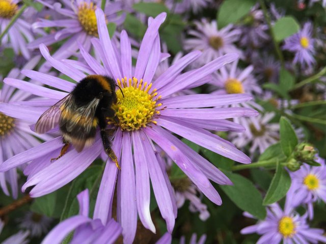A bee on an aster. Picture: Alamy/PA.