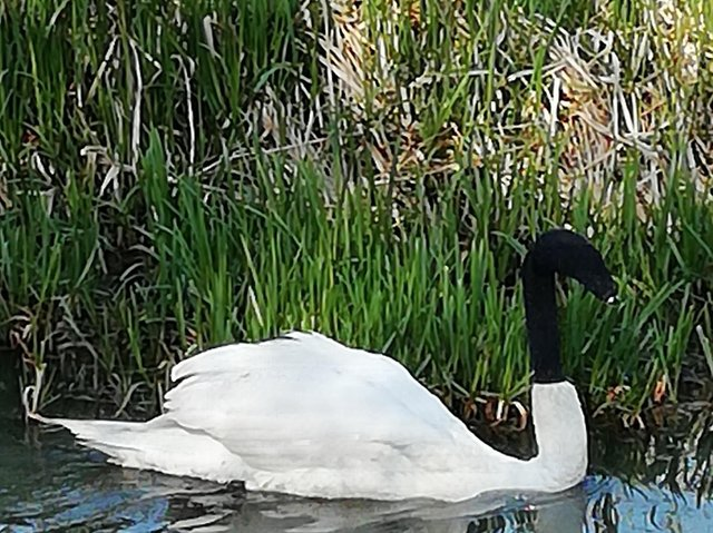 The swan was spotted at Catchwater Drain in Lincoln.